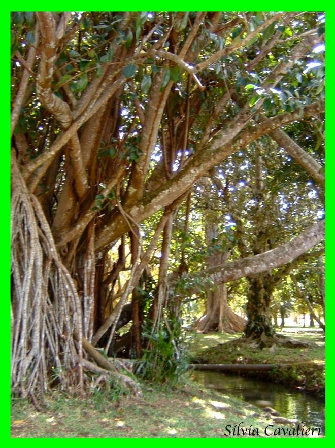 mangroviatre