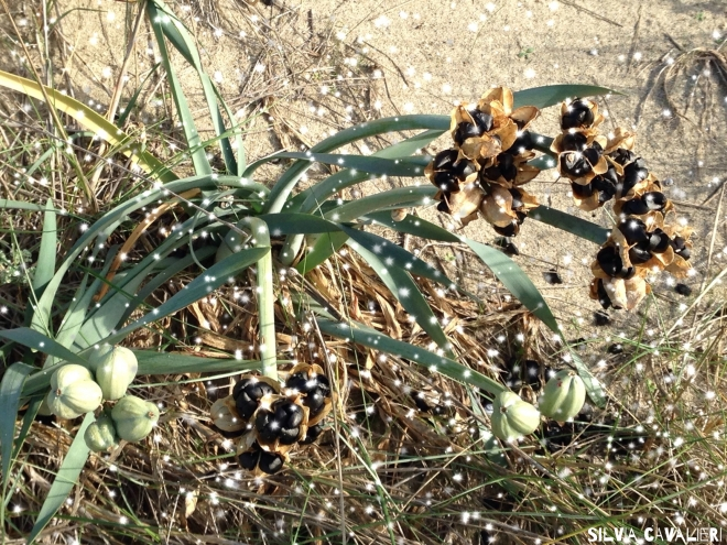 semi di giglio e grandine
