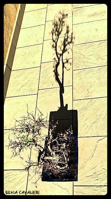 Un bonsai e la sua ombra